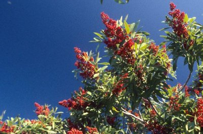 Tiny bug deployed as weapon against invasive Brazilian pepper tree