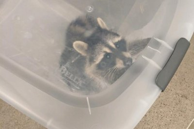 Police capture would-be stowaway raccoon at New York state airport