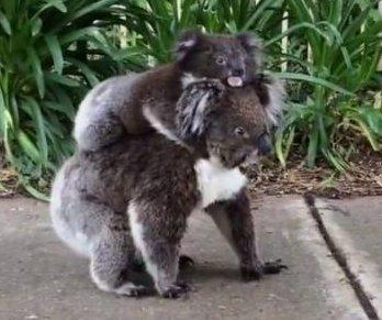 Mother koala takes joey for a stroll down main street sidewalk