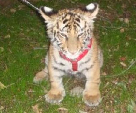 Mexican authorities seize tiger cub being walked on a dog leash in Tijuana