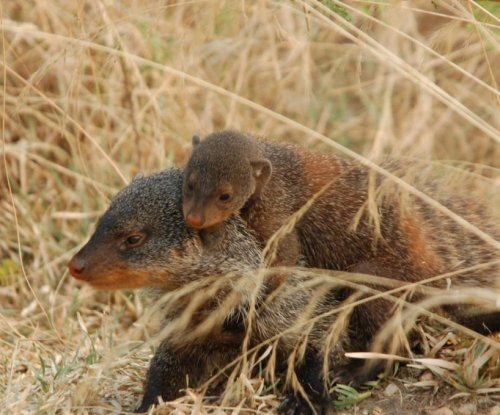 Young mongooses inherit the habits of their role model, not their parents