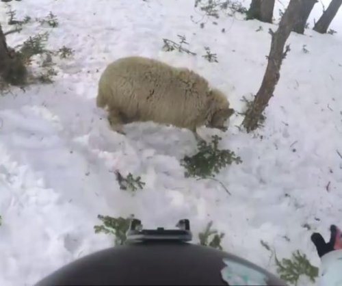 Snowboarder crashes into sheep at Russian resort
