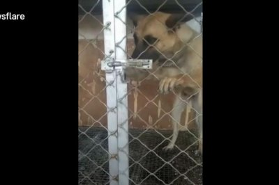 Dog uses paws to undo latch and escape kennel
