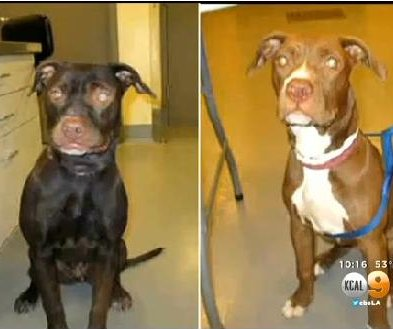 Dog dyed black by suspected thieves