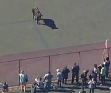 Escaped 'Brooklyn cow,' actually a steer, captivates Internet