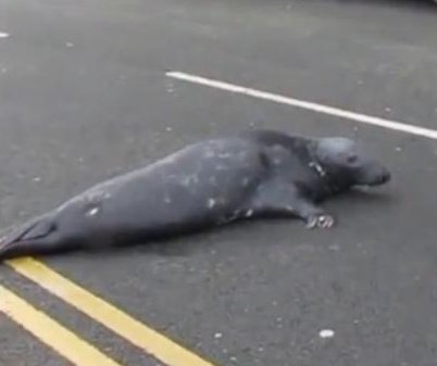 Sammy the seal braves Irish road to beg for fish from restaurant