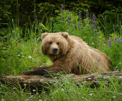 'Ecological traps' pose risk to British Columbia grizzly population