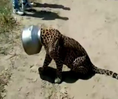 Thirsty leopard gets help for pot-head problem in India