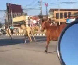 Motorcyclist films horses running through traffic in Thailand