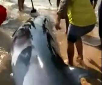 Dozens of Chinese villagers help beached whale return to sea