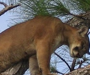 Possible panther recorded lounging by Florida woman's pool