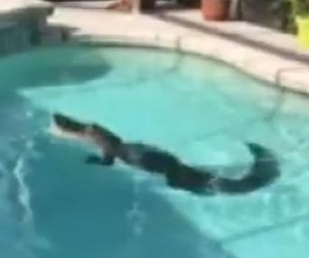 Florida couple spot 300-pound alligator swimming in their pool
