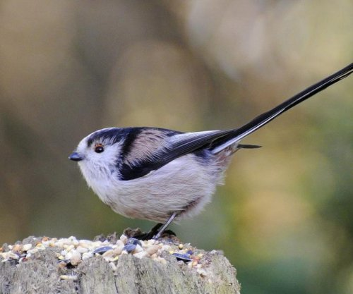 Math models developed by Alan Turing help scientists explain bird behavior