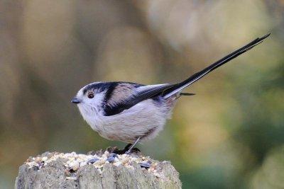 Math models developed by Alan Turing help scientists explain bird behavior