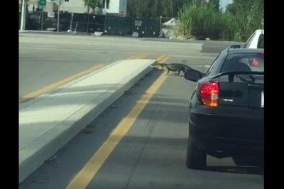Alligator takes post-hurricane stroll across busy Florida road