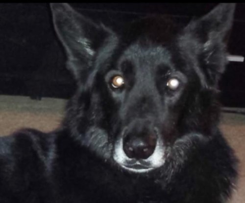 DNA test proves suspected Colorado wolf-dog hybrid is just a dog