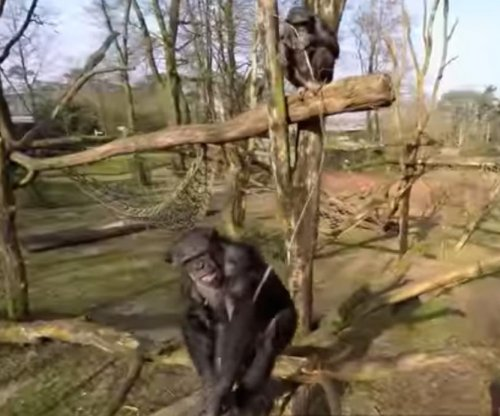 Annoyed chimpanzee smacks drone out of sky in Dutch zoo