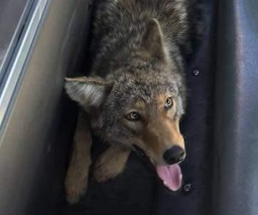 Coyote captured in Philadelphia after stand-off