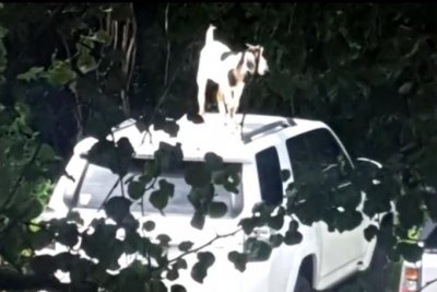 Loose goat climbs rooftops, evades capture in Arkansas