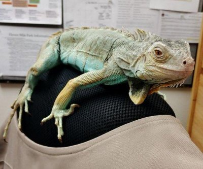 Watch: Iguana found wandering loose in Colorado state park