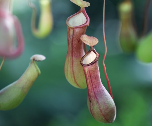 Carnivorous pitcher plants are only part-time killers