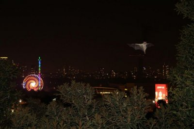 Urban environments prompt fruit bats to diversify diet, study says