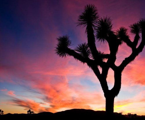 Protection sought for Joshua tree under Endangered Species Act