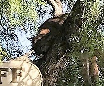 Mountain lion tranquilized at California shopping center