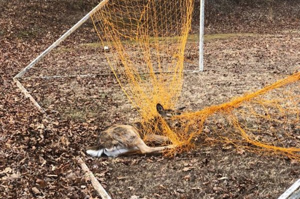 Game warden frees young deer stuck in soccer net game for Fish and wildlife management degree