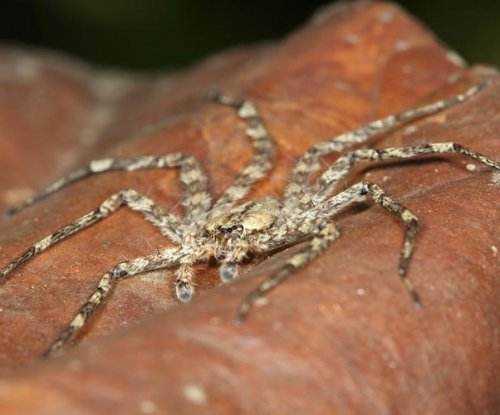 Scientists discover skydiving spiders in forests of South America