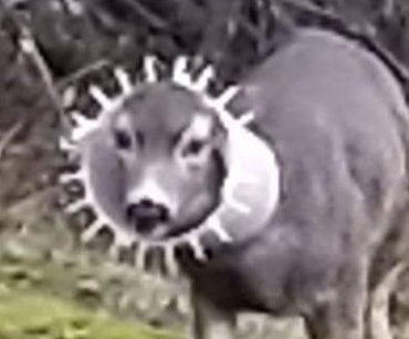 Deer with chicken feeder stuck around neck spotted in California