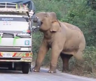 Elephant holds up traffic to steal sugar cane from trucks