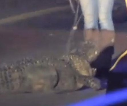 Alligator removed from highway on-ramp in South Carolina