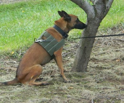 Detection dogs find citrus greening disease faster than humans can