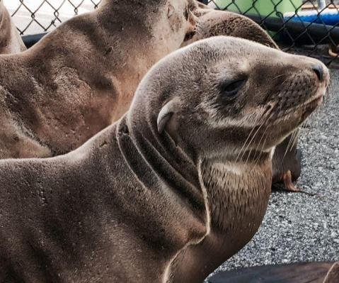 Sea lions suffering brain damage from algae toxins along West Coast