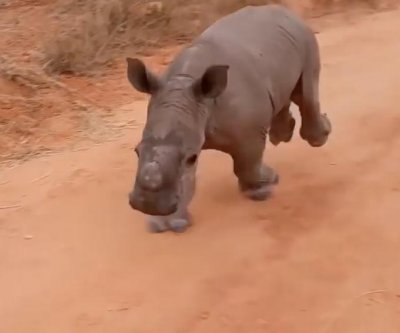 Warren the baby rhino comes running at the call of his name