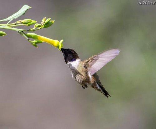 Hybridization helps species avoid extinction