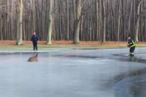 Ohio firefighters rescue deer stranded on iced-over pond