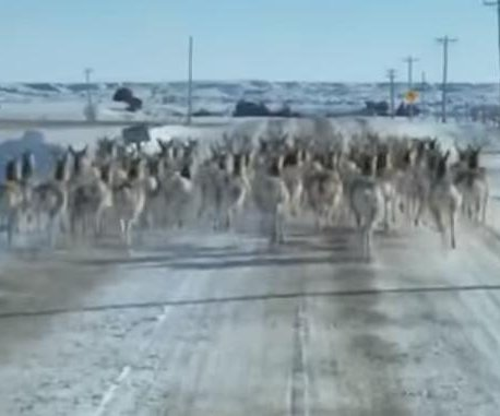 South Dakota man films antelope herd running down middle of road