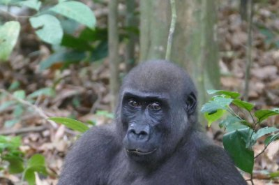 Western gorillas use their teeth to crack open, eat nuts