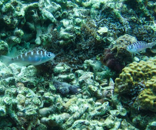 Monogamous hermaphrodite fish switch gender 20 times a day
