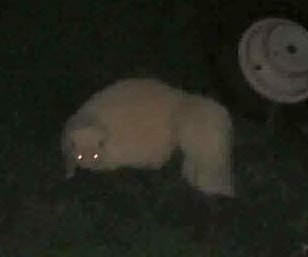 Albino skunk caught on camera in Canada
