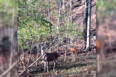 Ohio rescuers working to free deer from plastic pumpkin