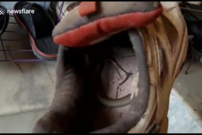 Man finds baby cobra coiled inside shoe