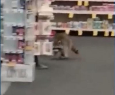 Raccoons fall through ceiling into New York CVS store