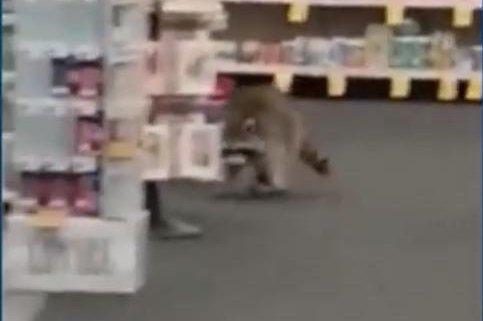 Raccoons fall through ceiling into New York CVS store