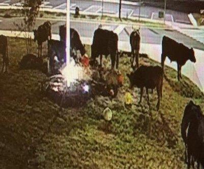 Wandering herd of cows trashes school's fall harvest display