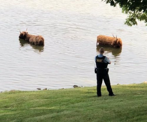Long-haired cows escape Illinois farm, go for swim in lake