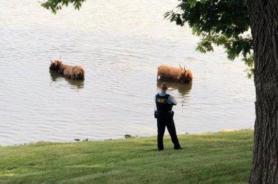 Long-haired cows escape Illinois farm, go for swim in lake