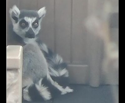 San Francisco Zoo's missing lemur found on school playground